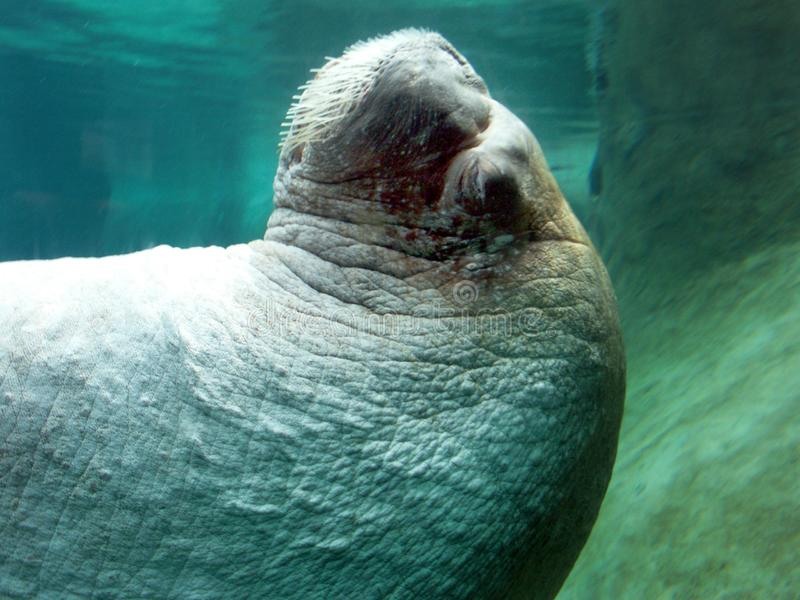 Close-up Walrus Free Stock Photo