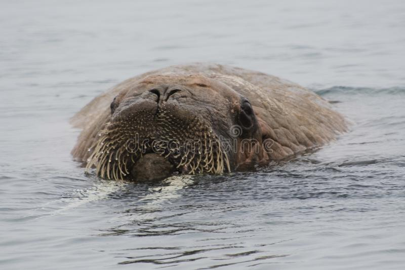Arctic Island of Svalbard Norway, Walrus in the cold Water of the Arctic Ocean. Close up of a Walrus enjoying the cold water of the Arctic royalty free stock photos