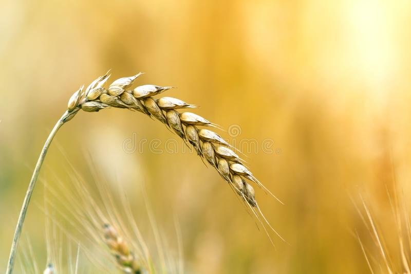 Close-up of warm colored golden yellow ripe focused wheat head on sunny summer day on soft blurred foggy meadow wheat field light royalty free stock photos