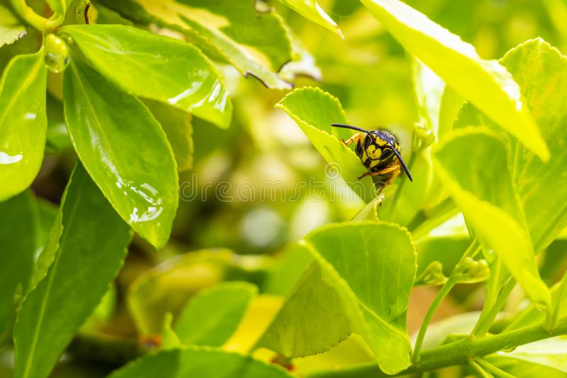 Close-up of a wasp on a bush leaf stock photography