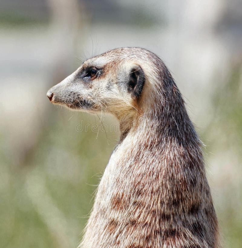 Portrait of a watchful meerkat. Close up of a watchful meerkat on a rock in a park stock photography