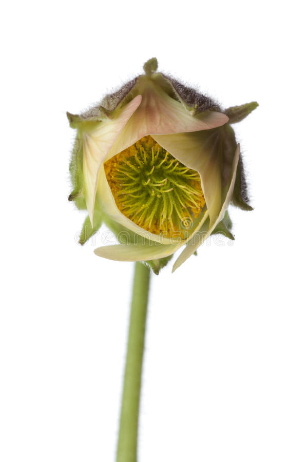 Download Close Up Of Water Avens Flower Stock Photo - Image: 26648340