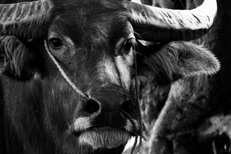 Close up of water buffalo portrait in black and white background. Headshot photography on face. Animal and mammal concept. Thai. Male buffalo on agriculture royalty free stock image