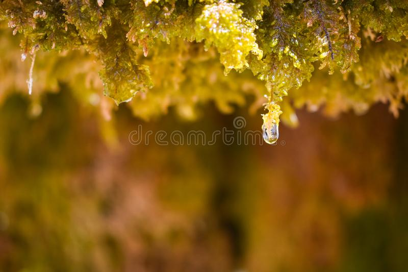 close up of a water drop of crystal water dripping from the wet green moss and almost falling to the floor in a sunny day. stock photos