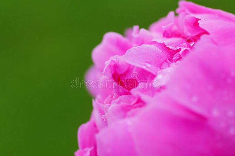 Close up water drop on petal of the peony blossom. fresh bright blooming pink peonies flowers with dew drops on petals. Soft focus royalty free stock image