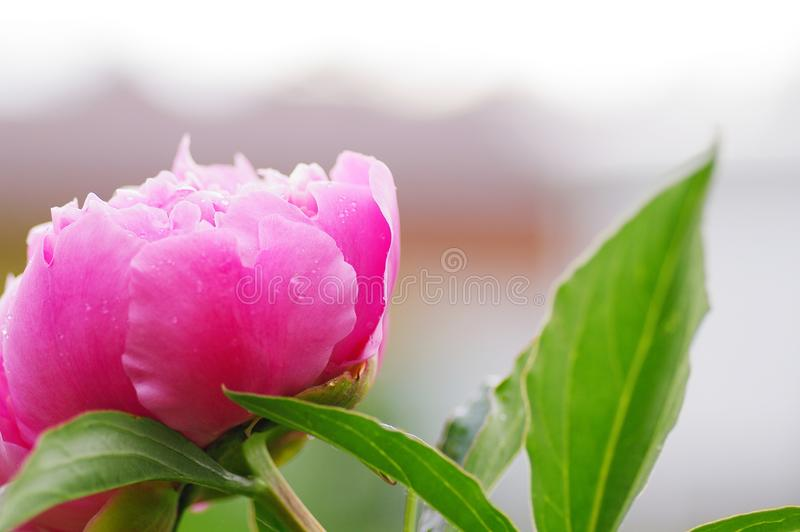 Close up water drop on petal of the peony blossom. fresh bright blooming pink peonies flowers with dew drops on petals. Soft focus royalty free stock photos