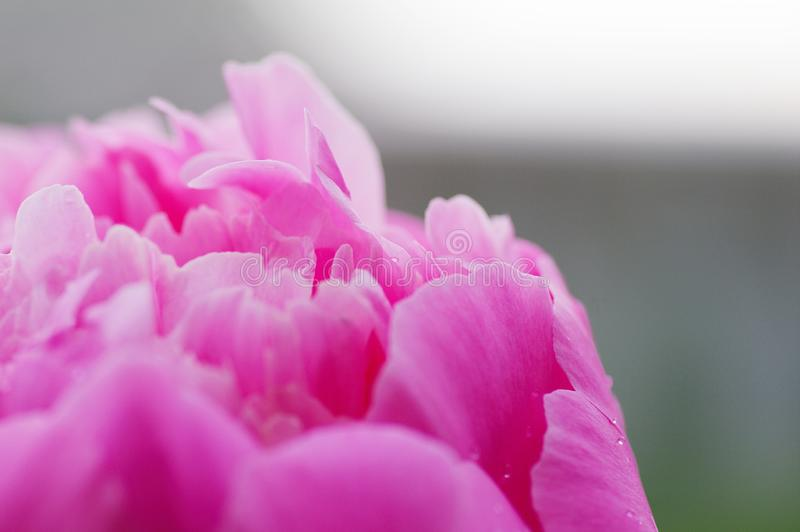 Close up water drop on petal of the peony blossom. fresh bright blooming pink peonies flowers with dew drops on petals. Soft focus stock photos