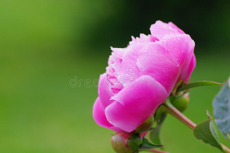 Close up water drop on petal of the peony blossom. fresh bright blooming pink peonies flowers with dew drops on petals. Soft focus stock images