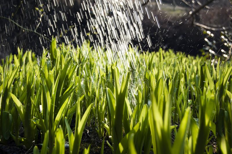 Close up, macro of dew drops on blades of fresh grass, morning rays of sun, water saving and green concept, save planet, blurred stock image