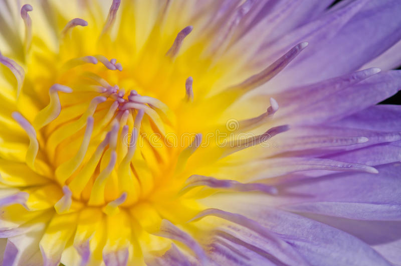 Close up of water lilly. Close up of purple water lilly or lotus stock photography