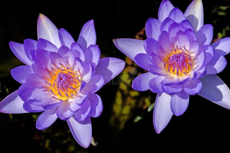 Close up of water lilly. Close up of purple water lilly or lotus stock photos