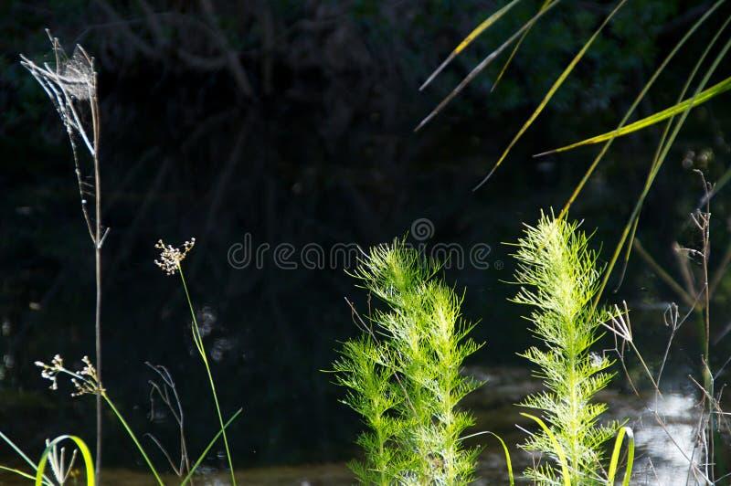 Close up of weeds at river