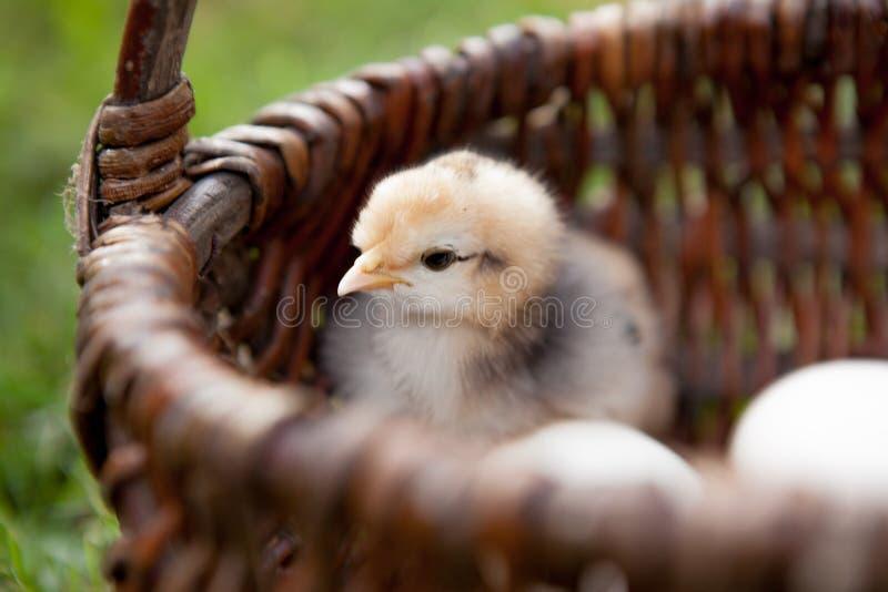 Close-up Weinig kip met eieren in een bruine mand royalty-vrije stock afbeelding