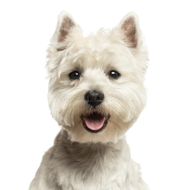 Close-up of a West Highland White Terrier, looking at the camera, 18 months old. Close-up of a West Highland White Terrier, looking at the camera, panting, 18 stock images