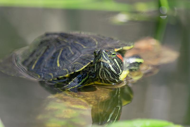 Close up western painted turtle in water enjoying sun. royalty free stock images