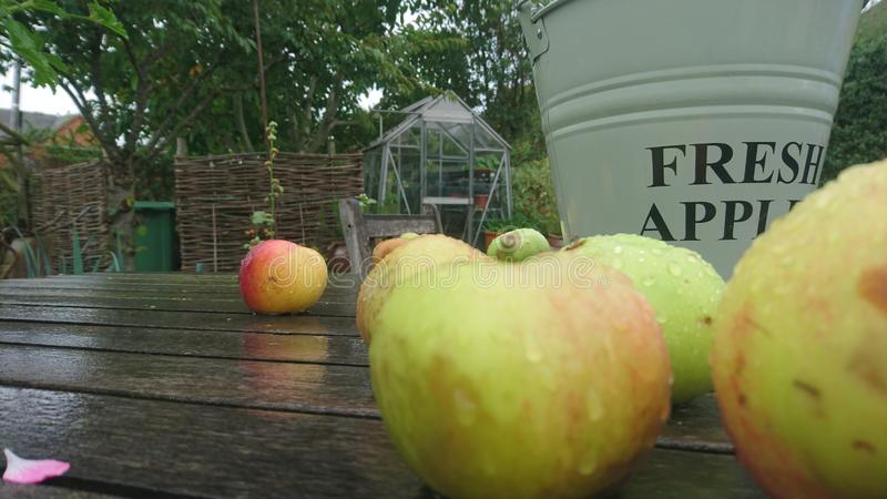 Close up of wet apples on a garden table fresh apples bucket. English country garden on a wet rainy day apples dripping wooden table countryside chair green stock image