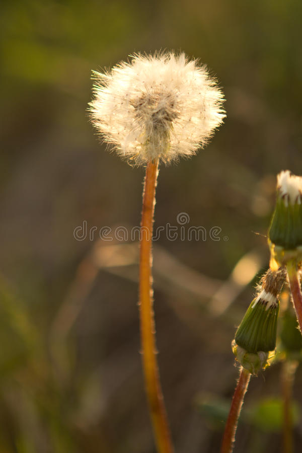 Close-up of wet dandelion seed with drops royalty free stock image