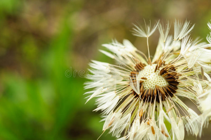 Close-up of wet dandelion seed with drops royalty free stock photo