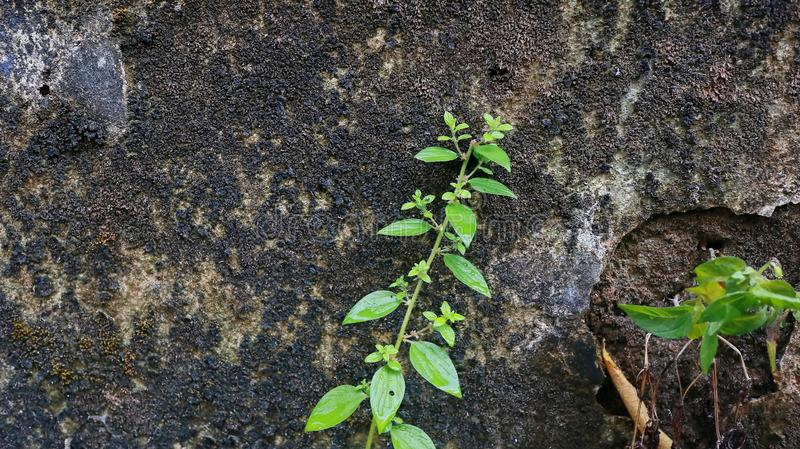 Close-up of Wet plant growth on cracked and mossy old cement walls. Incredible background with open space for text or as a vintage, urban or grunge background stock photo