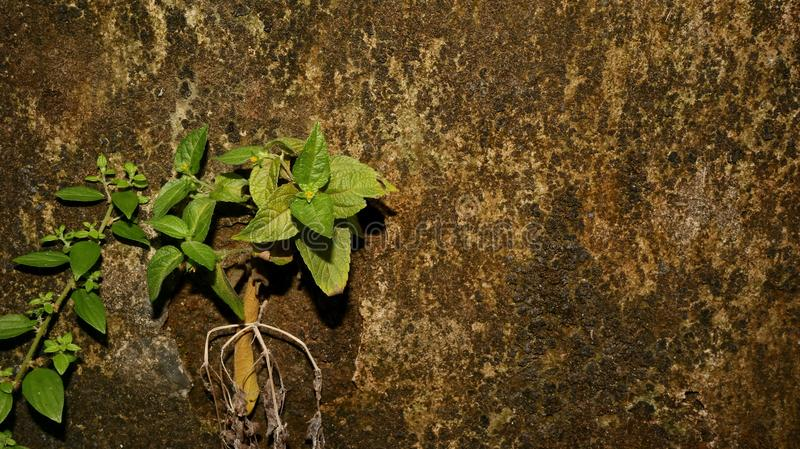 Close-up of Wet plant growth on cracked and mossy old cement walls. Incredible background with open space for text or as a vintage, urban or grunge background royalty free stock photo