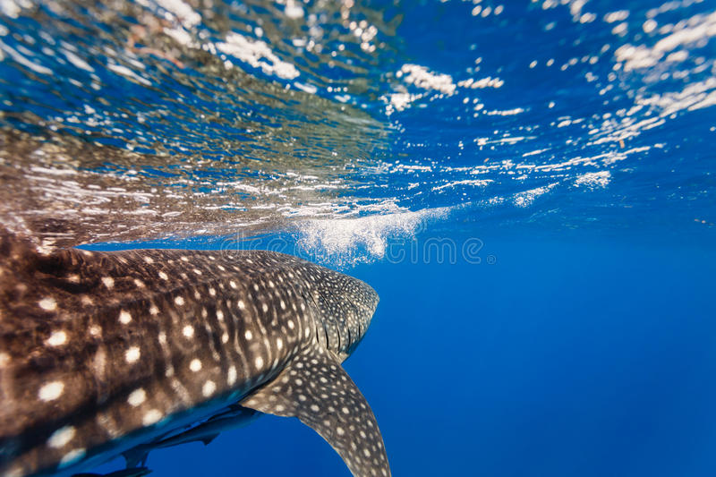 Close up of Whale shark (Rhincodon typus) heading toward the caribbean's surface. Close up of Whale shark (Rhincodon typus) and reflection heading toward the royalty free stock photography