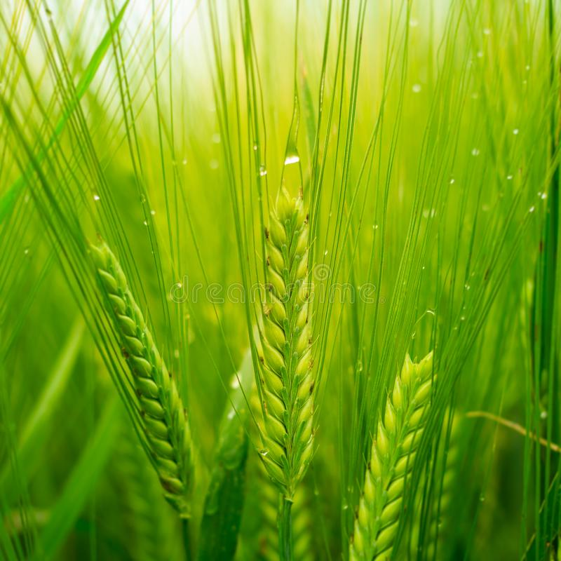Close up of Wheat covered in Dew. Low angle shot of Wheat growing in a field under a cloudy sky covered in dew royalty free stock photo