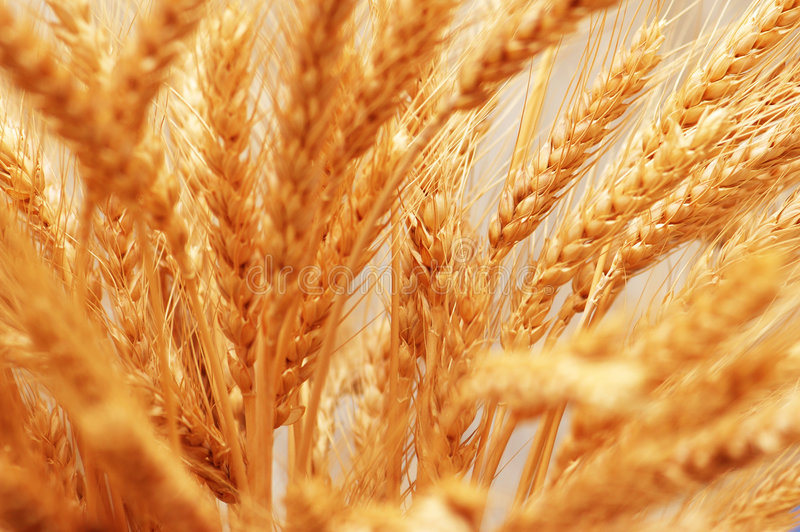 Close up of wheat ears - shall royalty free stock photos