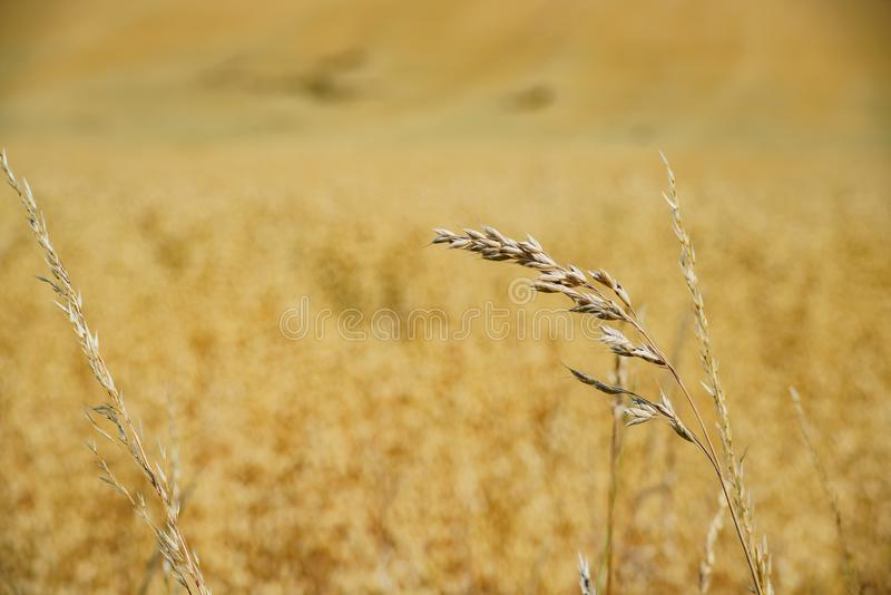 Close up of wheat farm in the educational Butser Ancient Farm. At Waterlooville, United Kingdom royalty free stock photography