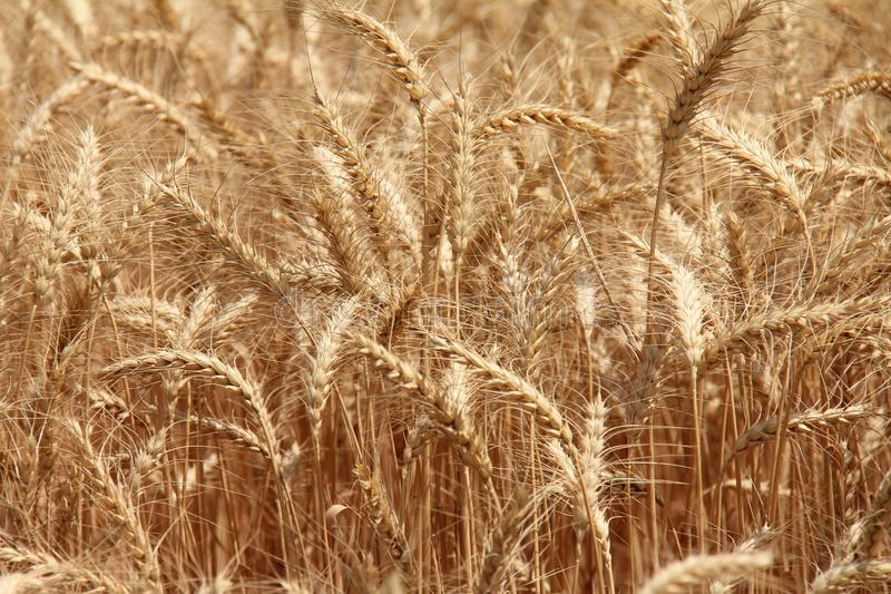 Download Close up of a Wheat field stock photo. Image of growing - 24837762