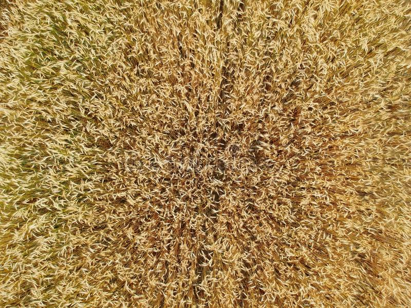 Close up on wheat field, aerial top view royalty free stock images