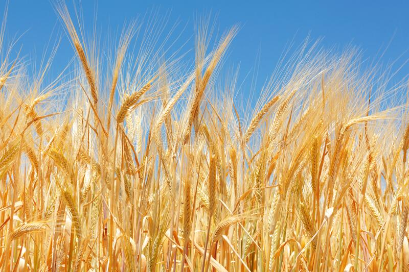 Close up of a wheat field and grains stock image