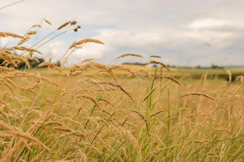 Close up of wheat fields under the sun. stock photo
