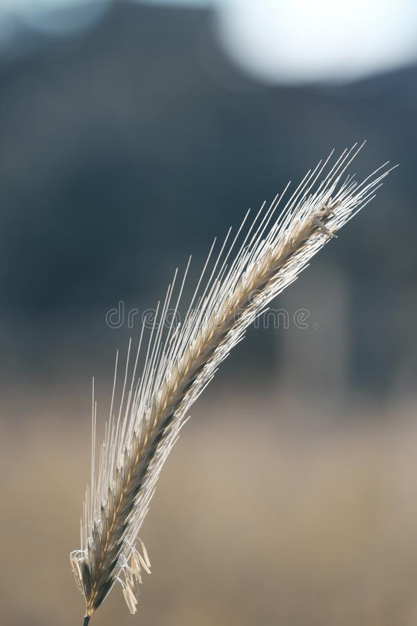 Close up wheat with seeds stock photo