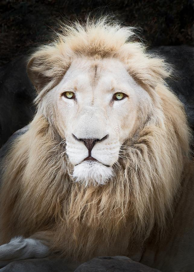 Close up White lion royalty free stock photography