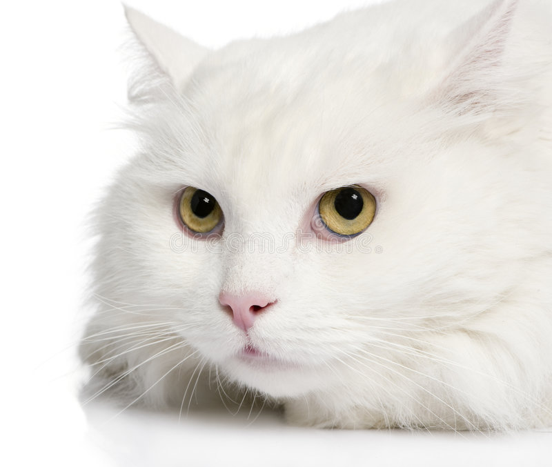 Download Close-up On A White Angora Cat (5 Years) Stock Photo - Image: 7645110