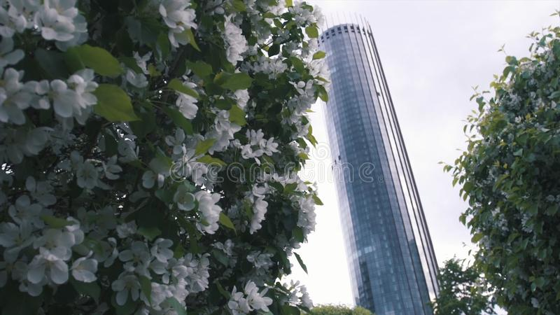 Close-up of white apple blossoms and green leaves on the apple tree against the modern glass building and grey sky royalty free stock photo