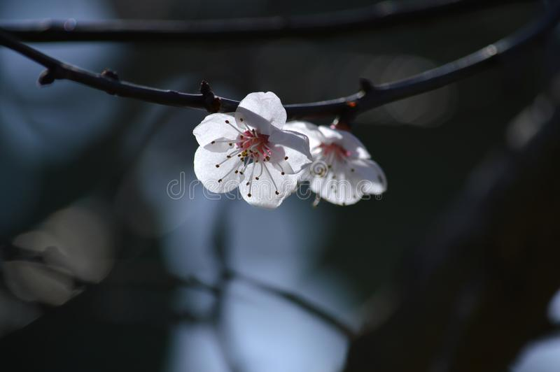 Close-up of White Apricot Blossom, Nature, Macro royalty free stock image