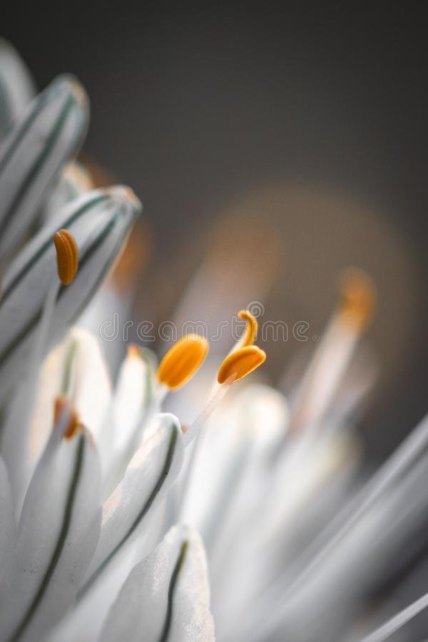 Close up of white asphodel flower pistils on a blurry background, creative design. Close up of white asphodel flower orange pistils on a blurry background stock image