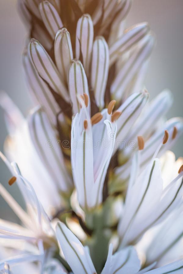 Close up of white asphodel flower pistils on a blurry background, creative design. Close up of white asphodel flower orange pistils on a blurry background royalty free stock photography