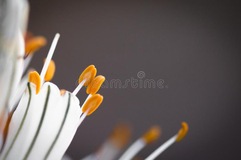 Close up of white asphodel flower pistils on a blurry background, creative design. Close up of white asphodel flower orange pistils on a blurry background royalty free stock photos