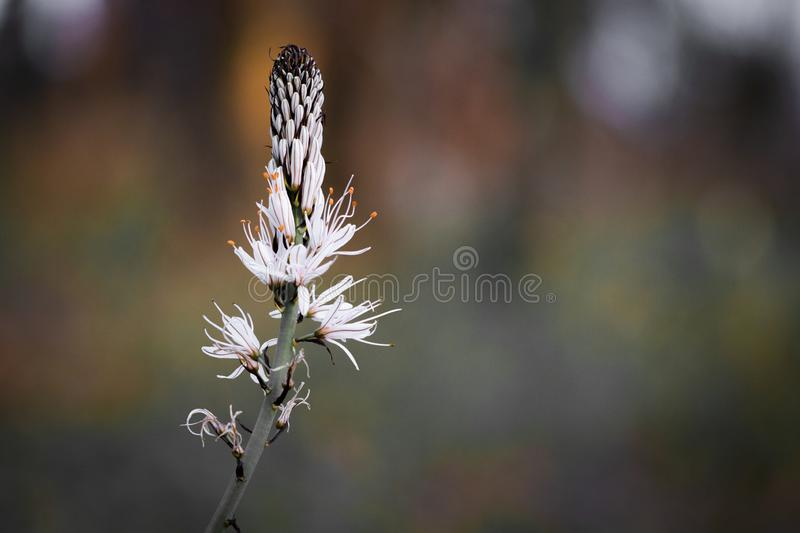 Close up of white asphodel flower pistils on a blurry background, creative design. Close up of white asphodel flower orange pistils on a blurry background royalty free stock photo