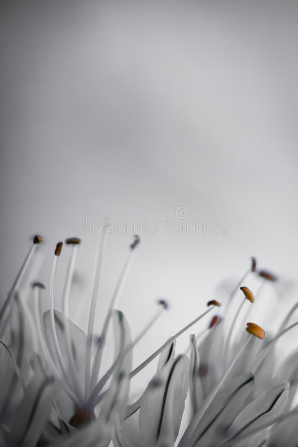 Close up of white asphodel flower pistils on a blurry background, creative design. Close up of white asphodel flower orange pistils on a blurry background stock photos