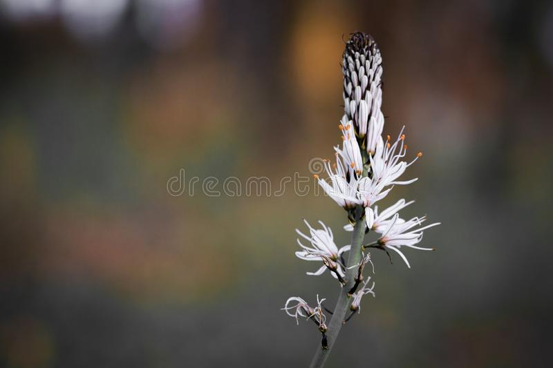 Close up of white asphodel flower pistils on a blurry background, creative design. Close up of white asphodel flower orange pistils on a blurry background stock photography
