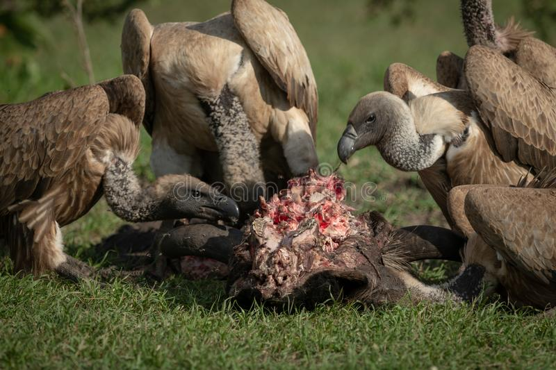 Close-up of white-backed vultures chewing on kill royalty free stock image