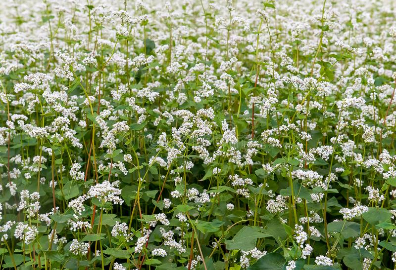 Close up of white blooming flowers of buckwheat Fagopyrum esculentum growing in agricultural field. Sunny summer  day royalty free stock photo