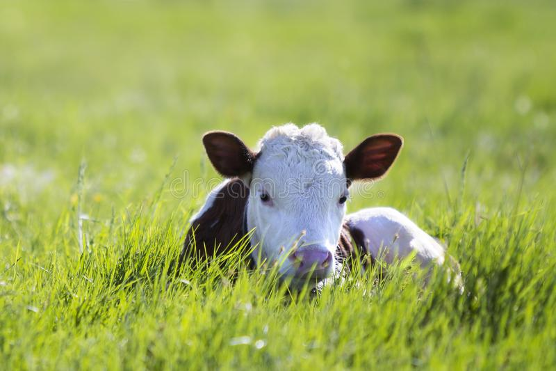Close-up of white and brown calf looking in camera laying in green field lit by sun with fresh spring grass on green blurred back stock photos