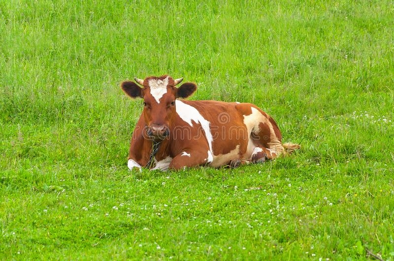 Cattle farming, breeding, milk and meat production concept royalty free stock image