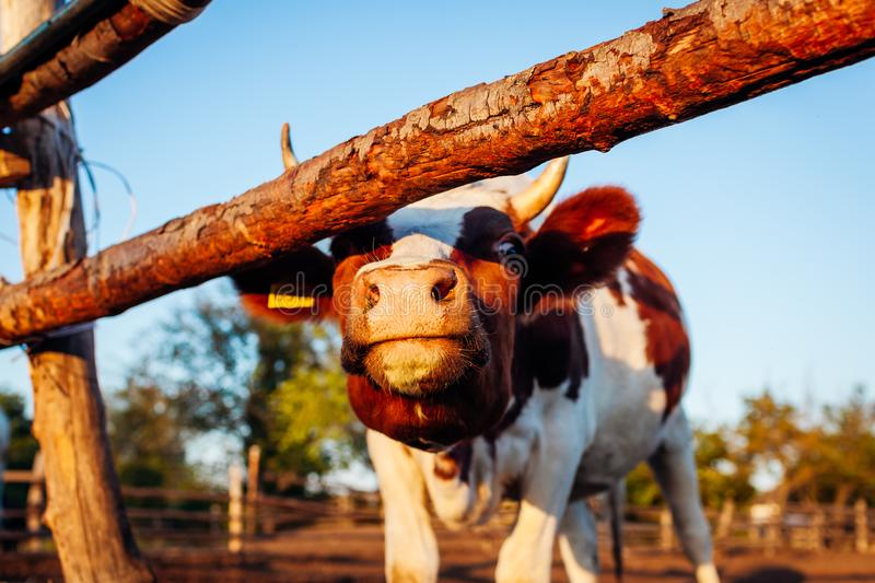 Close-up of white and brown cow on farm yard at sunset. Cattle walking outdoors in summer stock photography