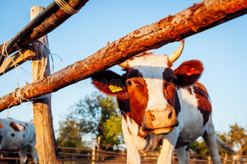 Close-up of white and brown cow on farm yard at sunset. Cattle walking outdoors in summer royalty free stock photography