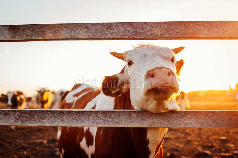 Close-up of white and brown cow on farm yard at sunset. Cattle walking outdoors in summer stock photo